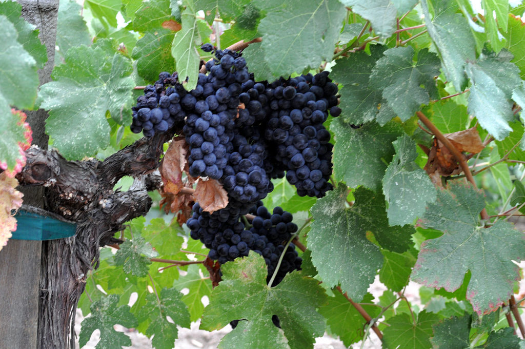 napa_valley_grapes3