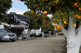 oranges hang on trees at orange grove RV park